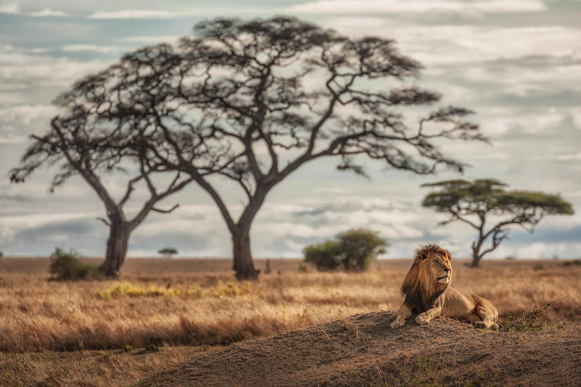 Lion at Serengeti, Tanzania, Inscape Photo Tours